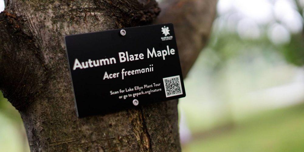 Photo of interactive tree tag on Autumn Blaza Maple tree