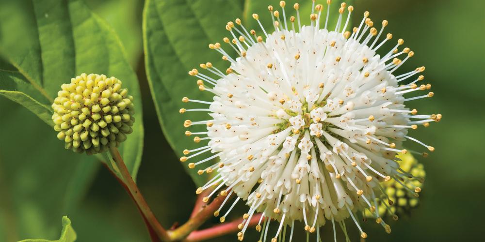 Flower of a Buttonbush