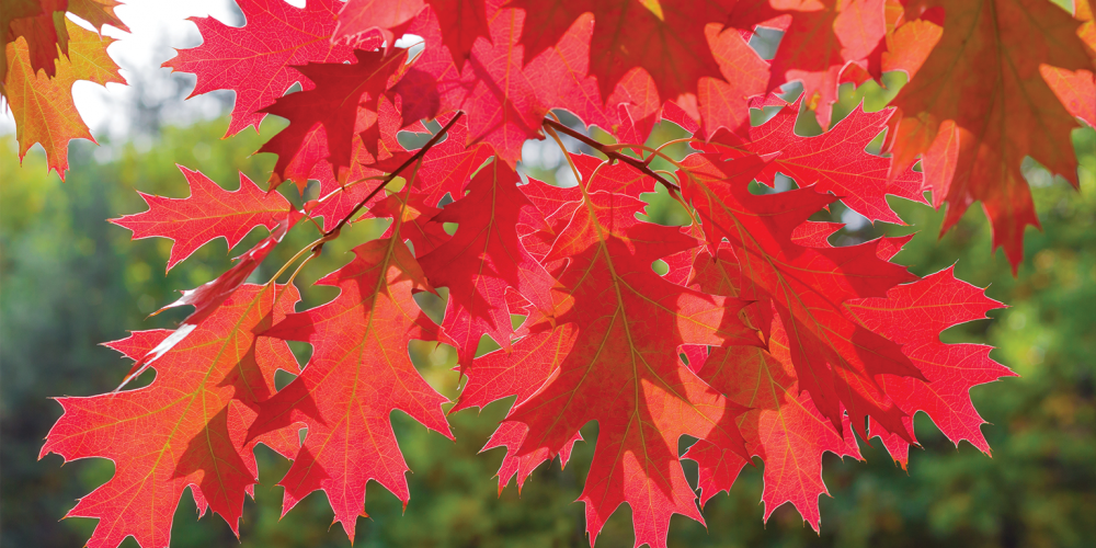 Leaves of a Red Oak tree