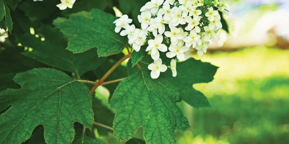 Flower of an Oak-leaf Hydrangea