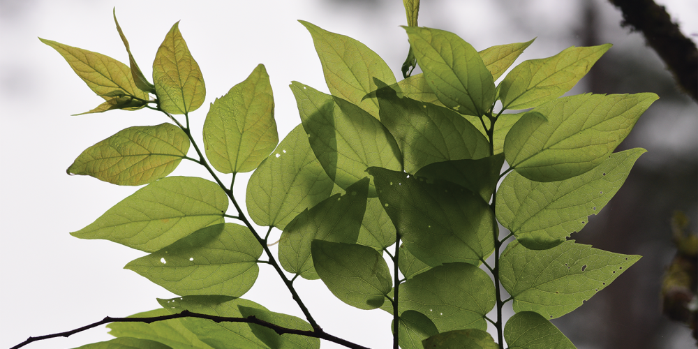 Leaves of a Common Hackberry tree